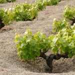 The vines of Zibibbo